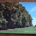 Chesnut time in Bushy Park England