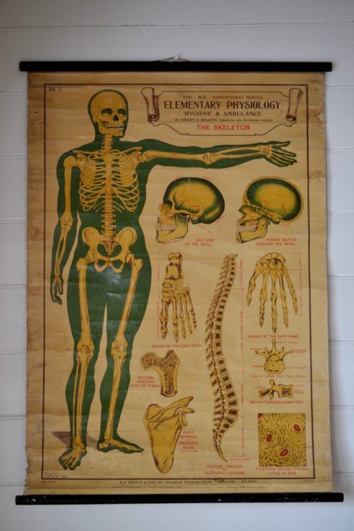 Elementary Physiology Anatomical Chart 'No.1 Skeleton' E.J Arnold & Son