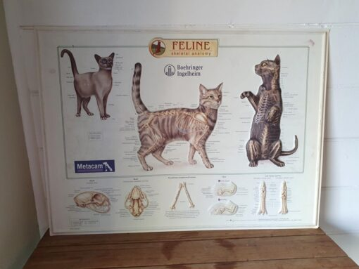 Feline skeletal anatomy  2D plastic cat chart poster metacam